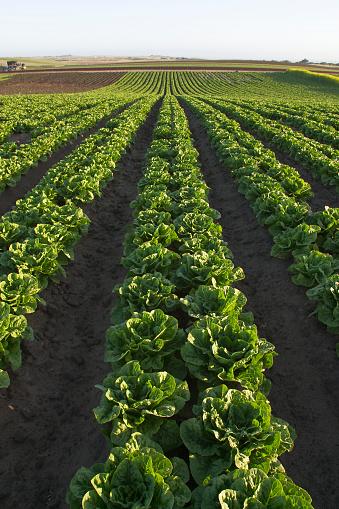 Salinas - California「Agriculture - Field of maturing organic Romaine lettuce」:スマホ壁紙(18)