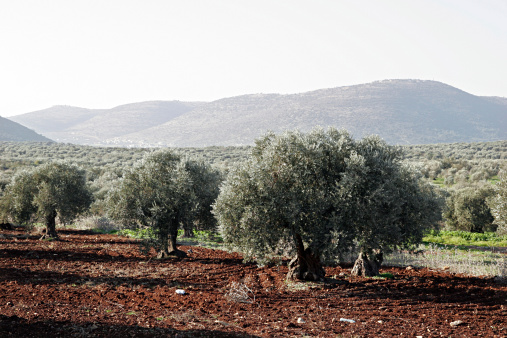 Grove「Agriculture in northern Israel. Olive Grove in the Upper Galilee」:スマホ壁紙(4)