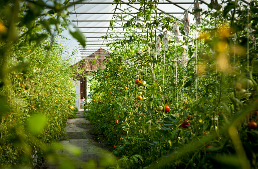 Greenhouse「Agriculture - Fresh Market hydroponic tomatoes growing in a greenhouse at a local family produce farm / Little Compton, Rhode Island, USA.」:スマホ壁紙(12)