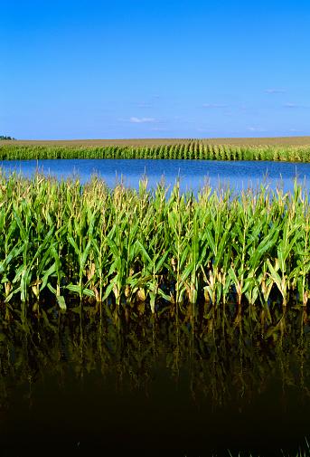 Hurricane Ike「Agriculture - Flooded cornfield caused by Hurricane Ike; near Elva, Illinois, USA.」:スマホ壁紙(5)