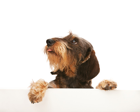 Dachshund「Cute wire-haired dachshund looking up at copy space」:スマホ壁紙(0)