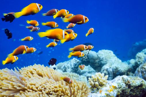 Tropical fish「Clown fish in Anemone」:スマホ壁紙(17)