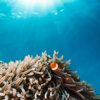 Clownfish「Clown Fish hiding in Anemone」:スマホ壁紙(5)