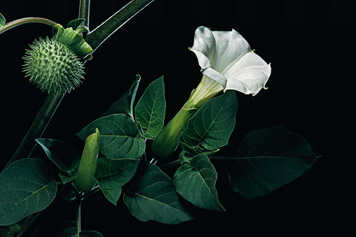 Animal Hair「Datura inoxia (downy thorn apple, desert thornapple, angel's trumpet, sacred datura)」:スマホ壁紙(7)