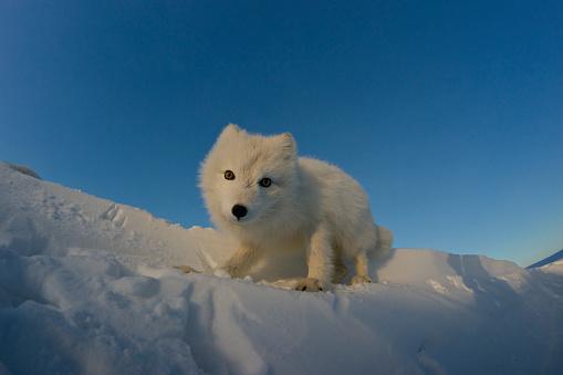 Arctic Fox「Polar fox looking for prey in the snowy tundra.」:スマホ壁紙(13)