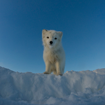 Animals In The Wild「Polar fox looking at the camera.」:スマホ壁紙(0)