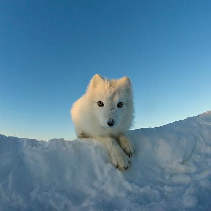 雪の吹きだまり「極 ギツネを見ているのカメラ。」:スマホ壁紙(14)
