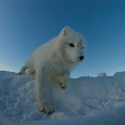 雪の吹きだまり「極 ギツネを見ているのカメラ。」:スマホ壁紙(15)