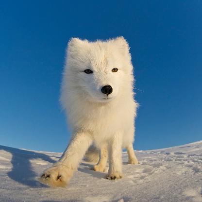 Arctic Fox「Polar fox looking at the camera.」:スマホ壁紙(12)