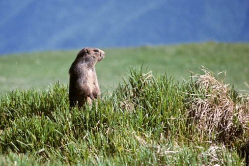 Squirrel「Olympic Marmot」:スマホ壁紙(6)