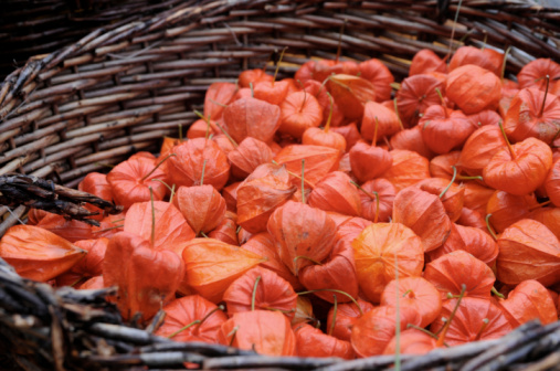 Chinese Lantern「basket full of physalis (winter cherry)」:スマホ壁紙(2)