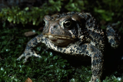 Frowning「American toad sits in grass. Bufo americanus.」:スマホ壁紙(9)