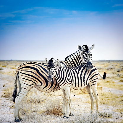 Animal Wildlife「Zebra mother and her foal in Etosha National Park,Namibia」:スマホ壁紙(4)