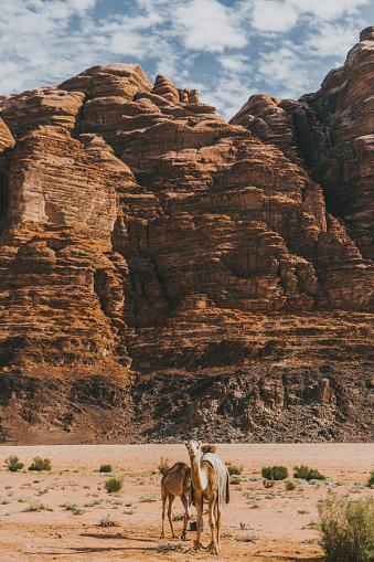 Camel Family「Camel standing in Wadi Rum desert」:スマホ壁紙(14)