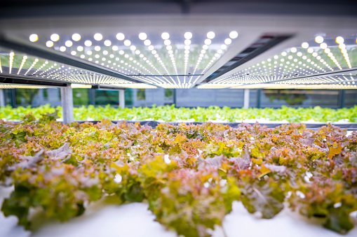 Crop - Plant「Racks of Cultivated Living Lettuce at Indoor Vertical Farm」:スマホ壁紙(19)