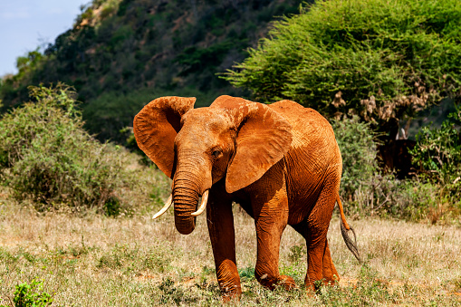 Animals In The Wild「Tsavo East African Red Elephants」:スマホ壁紙(14)