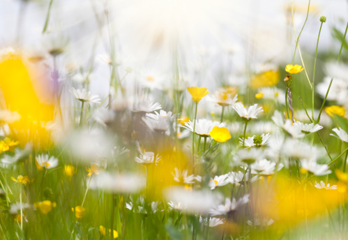 Marguerite - Daisy「spring meadow with daisy flowers brightly illuminated by the sun」:スマホ壁紙(15)
