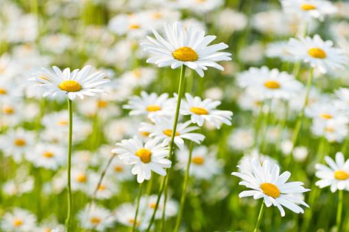 Marguerite - Daisy「spring meadow wiht marguerite daisy」:スマホ壁紙(9)