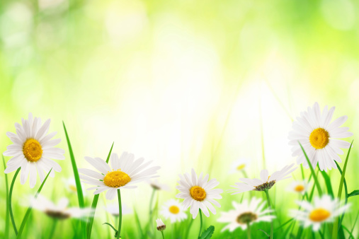 春「スプリング Meadow にゴールドの Daisies」:スマホ壁紙(6)