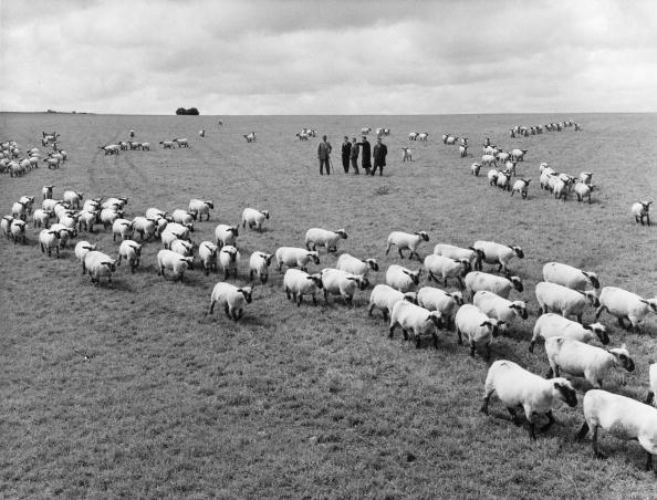 Horizon「British Sheep」:写真・画像(19)[壁紙.com]