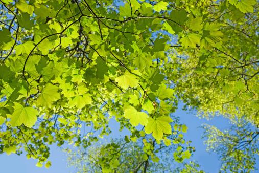 セイヨウカジカエデ「Spring sycamore leaves and branches against clear blue sky」:スマホ壁紙(8)