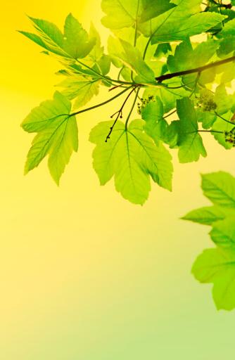 セイヨウカジカエデ「Spring sycamore leaves」:スマホ壁紙(7)