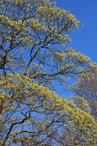 セイヨウカジカエデ「Spring sycamore buds bursting open on a tall tree」:スマホ壁紙(16)