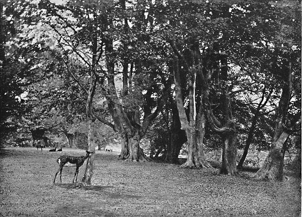 Beech Tree「Epping Forest: Beech Wood」:写真・画像(6)[壁紙.com]