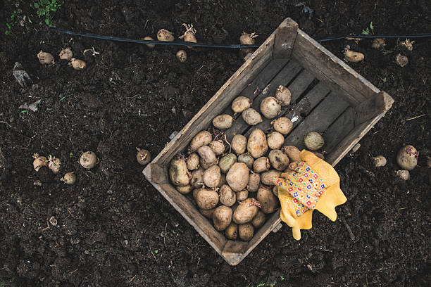 Potatoes in wooden box:スマホ壁紙(壁紙.com)