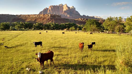 牛「ガオホワイトの牛および子牛ロックビル ユタ州の初期の夏の牧草地で」:スマホ壁紙(2)