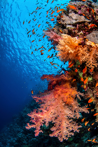 Hawksbill Turtle「A coral covered wall in the Red Sea.」:スマホ壁紙(7)
