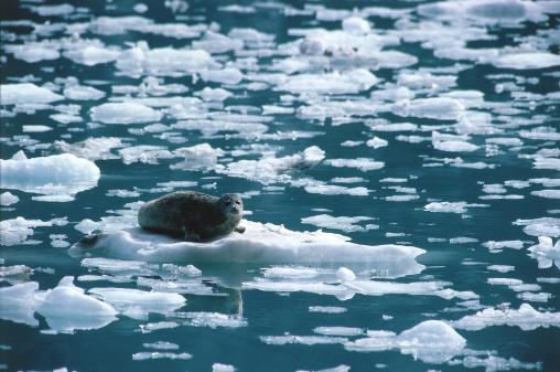 Glacier Bay National Park「Harbor seal lies on iceberg. Phoca vitulina. Glacier Bay National Park, Alaska.」:スマホ壁紙(17)