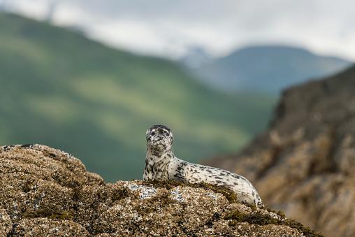 Katmai National Park「Harbor seal pup on rock in Kukak Bay, Katmai National Park and Preserve, Alaska」:スマホ壁紙(15)