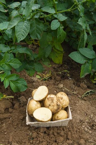 Fertilizer「Freshly dug potatoes」:スマホ壁紙(2)