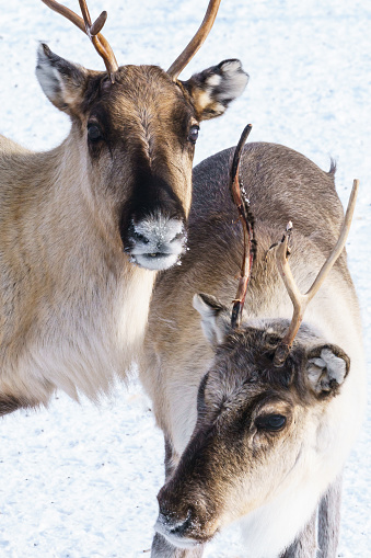 Finnish Lapland「Two reindeer with antlers grazing in forest in sub-zero temperature, Torassieppi Reindeer Farm, Torassieppi, Lapland, Northern Finland (Property Release)」:スマホ壁紙(13)