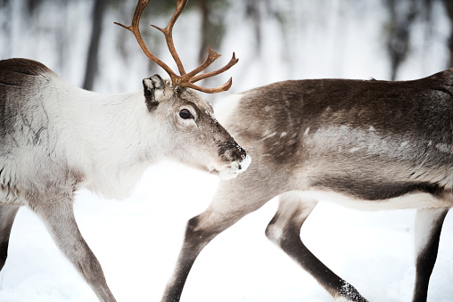 トナカイ「Two Reindeer, Lapland, Finland」:スマホ壁紙(16)