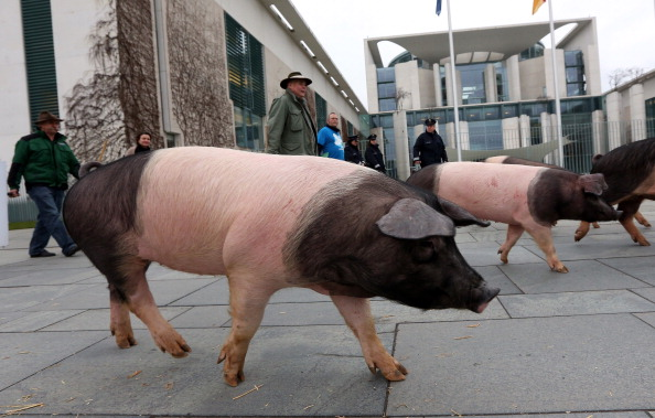 Free Range「Hog Farmers Protest Against Genetic Modifications In Agriculture」:写真・画像(16)[壁紙.com]