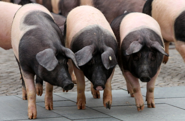 Free Range「Hog Farmers Protest Against Genetic Modifications In Agriculture」:写真・画像(6)[壁紙.com]