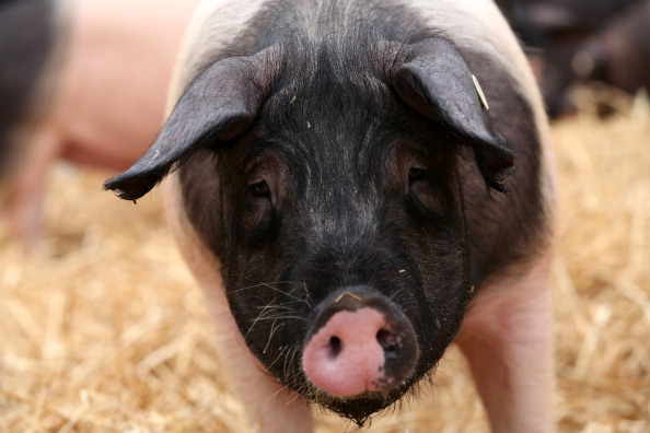 Free Range「Hog Farmers Protest Against Genetic Modifications In Agriculture」:写真・画像(7)[壁紙.com]