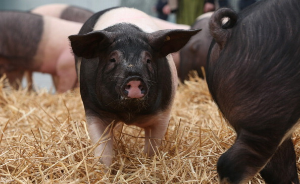 Free Range「Hog Farmers Protest Against Genetic Modifications In Agriculture」:写真・画像(17)[壁紙.com]