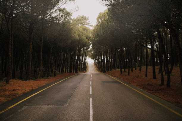 Road at pine tree forest:スマホ壁紙(壁紙.com)