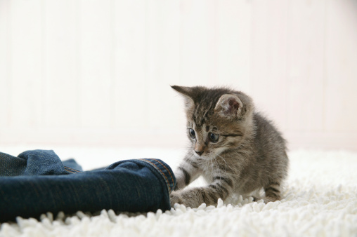Mixed-Breed Cat「Kitten touching jeans」:スマホ壁紙(8)