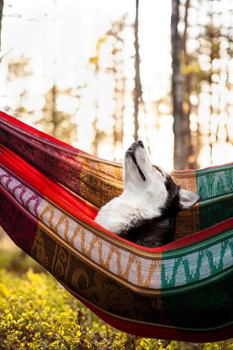 Hammock「lazy husky dog lying in a hammock」:スマホ壁紙(6)