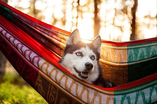 Animal Ear「lazy husky dog lying in a hammock」:スマホ壁紙(18)