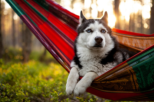 Animal Ear「lazy husky dog lying in a hammock」:スマホ壁紙(8)