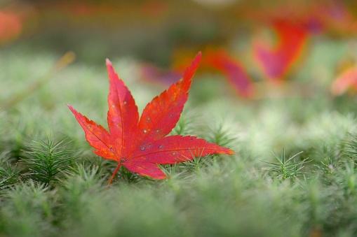 Japanese Maple「Red leaf carpet in autumn」:スマホ壁紙(14)