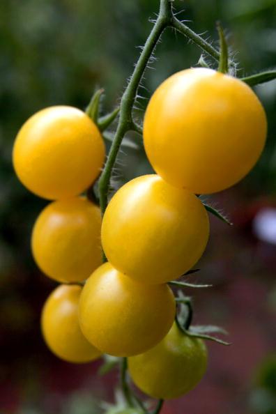 野菜・フルーツ「Hybrid Tomato Seed  More Expensive Than Gold」:写真・画像(17)[壁紙.com]