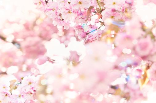 桜「Flowering cherry (Prunus serrulata), close up」:スマホ壁紙(8)