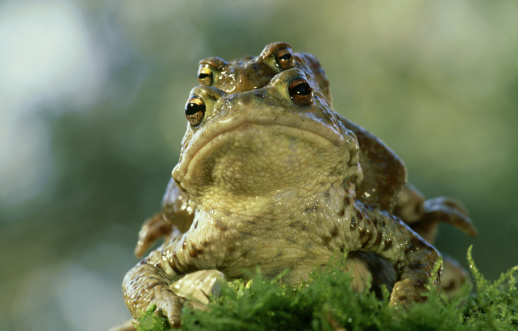 Frowning「common european toad, bufo bufo, mating behaviour, germany」:スマホ壁紙(1)