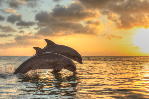Carefree「Bottlenose dolphins」:スマホ壁紙(7)